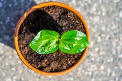 Young baobab latin name Adansonia Digitata seedling is growing in the pot. Green leaf of exotic plant which naturaly grows on royalty free stock photography