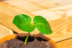 Young baobab latin name Adansonia Digitata seedling is growing in the pot. Green leaf of exotic plant which naturaly grows on. Madagascar. Brown and red brick stock image