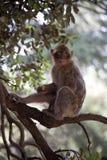 Young Barbary Ape, Macaca Sylvanus, Atlas Mountains, Morocco Royalty Free Stock Image