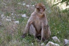 Young Barbary Ape, Macaca Sylvanus, Atlas Mountains, Morocco Stock Photos