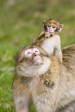 Young barbary ape on mothers back Royalty Free Stock Photos