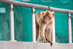 Young Barbary Ape Royalty Free Stock Images