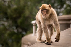 Young Barbary Ape on Wall. A young Barbary ape walking on a wall Stock Images