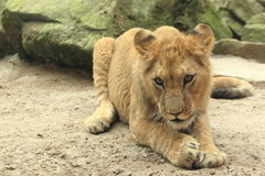 Young barbary lion Stock Image