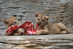 Young Barbary lions. Two young Barbary lions eat meat in stone enclosure royalty free stock photos