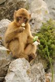 Young Barbary macaque - Macaca silvanus Stock Photography