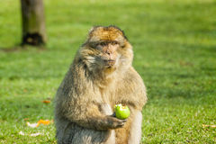 Barbary Macaque eating an apple  in open field Royalty Free Stock Image