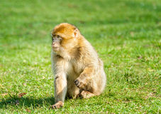 Young Barbary Macaque in open field Stock Images