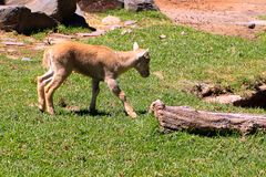 Young Barbary Sheep Royalty Free Stock Images