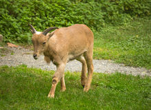 Young Barbary Sheep Stock Images