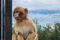 A young barbery ape at Gibraltar. A young barbery ape sitting on a wall at the top of The Rock of Gibraltar against scenic seascape on a cloudy day Stock Photo