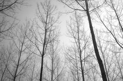 Young bare trees in the fog Stock Photography