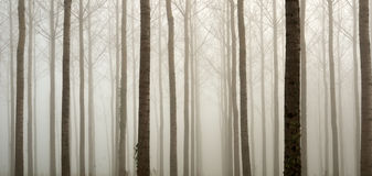 Young bare trees in the fog Stock Photos