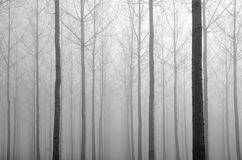 Young Bare Trees In The Fog Stock Photo