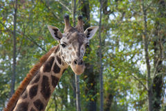 Young Baringo giraffe Stock Photography