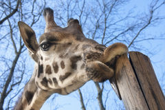 Young Baringo giraffe Royalty Free Stock Image