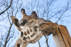 Young Baringo giraffe Royalty Free Stock Photos