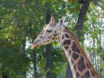 Young Baringo giraffe stock photo