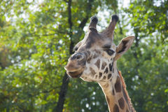 Young Baringo giraffe Stock Images