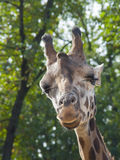 Young Baringo giraffe Royalty Free Stock Photography