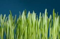 Young barley. Seedlings against blue background Stock Images