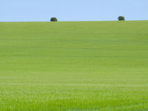 Young barley crop growing in green farm field under blue sky Stock Image