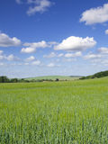 Young barley crop growing in green farm field under blue sky Stock Photos