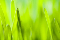 Young barley, low depth of focus Royalty Free Stock Photography