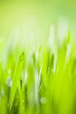 Young barley, low depth of focus Stock Images