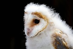 Young barn Owl Stock Photography