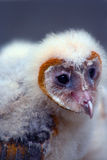 Young Barn Owl Stock Photos