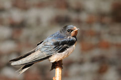 Young Barn swallow bird (Hirundo rustica) Stock Photography