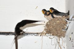 Young barn swallow in nest with open mouth Stock Photos