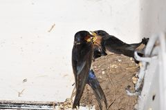 Young barn swallow in nest with open mouth Stock Photo