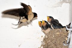 Young barn swallow in nest with open mouth Stock Photography