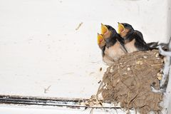 Young barn swallow in nest with open mouth Royalty Free Stock Photography
