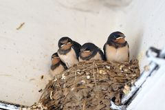 Young barn swallow in nest Royalty Free Stock Images