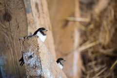 Young barn swallow Royalty Free Stock Image