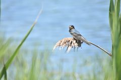 Young barn swallow waits for mother stock images