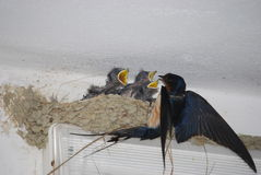 Young barn swallows. 3 young swallows and the mother bird royalty free stock photos
