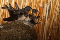Young Barn swallows Stock Photo