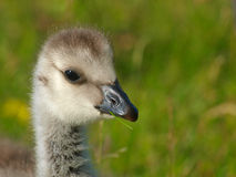Young Barnacle Goose Royalty Free Stock Photo