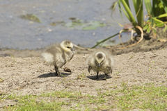 Young barnacle gooses Royalty Free Stock Photography