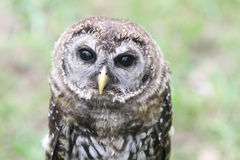Young Barred Owl in falconry demonstration Royalty Free Stock Photo