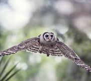 Young Barred Owl in Flight. Young Barred Owl flying in Florida woods Stock Image