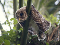 Young Barred Owl Royalty Free Stock Photo
