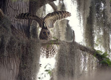 Young Barred Owl Stock Photo