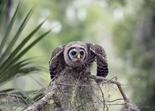Barred Owlet Perches on a Branch. Young Barred Owl Perches on a Branch Stock Photos
