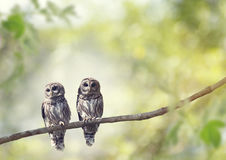 Young Barred Owls Royalty Free Stock Image