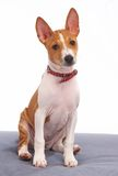 Young basenji Royalty Free Stock Photo